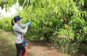 ep agricultora trabajando con mascarilla en la recoleccion de fruta