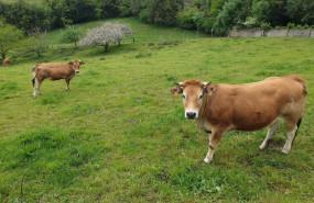 ep vacas asturiana de los valles rural campo pac