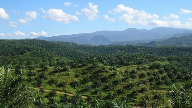 palm oil, plantation, aceite