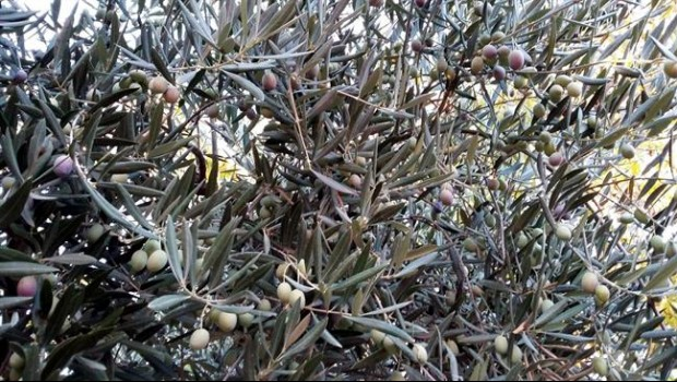 ep alivas aceite aceituna cosecha