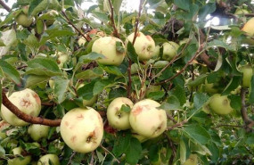 ep manzanas danadas por el pedrisco en un cultivo