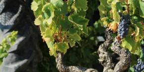 vignes-pendant-les-vendages
